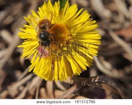 Wasp Collects Nectar On A Flower. A Bud Of A Plant Foalfoot.