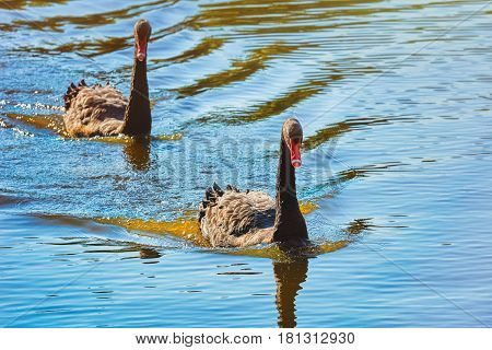 Pair of Black Swans Swims on the Pond