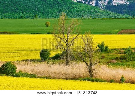 Two Bare Trees in the Rapeseed Field