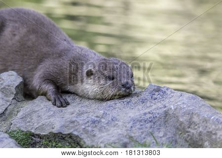 Asian small-clawed otter laying down on river bank