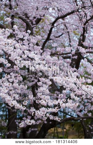 Beautifully blooming Somei Yoshino cherry blossoms in spring with flowers in small circlular clusters.