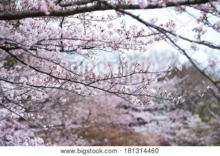 Cherry blossom with woods in the background.