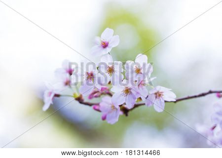Spring cherry blossom fading in to white background.