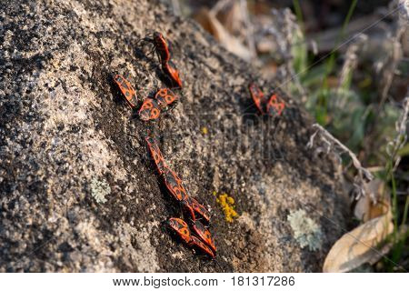 Bugs Pyrrhocoris apterus or firebugs bask in the spring sun. Hemiptera or true bugs