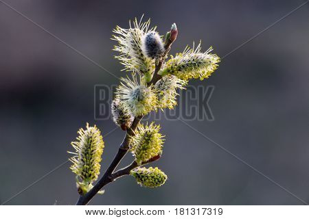 Inflorescence willow or catkin macro close-up. Spring tree in bloom
