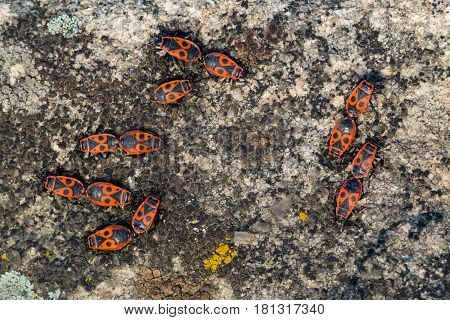 Firebugs on granite background macro close-up shot