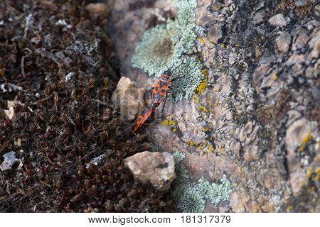 Pairing firebugs on granite background macro close-up shot
