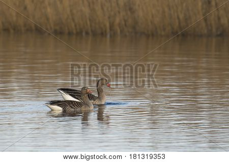 Greylag Goose (Anser anser) couple swimming in a Lake in late afternoon Sunlight