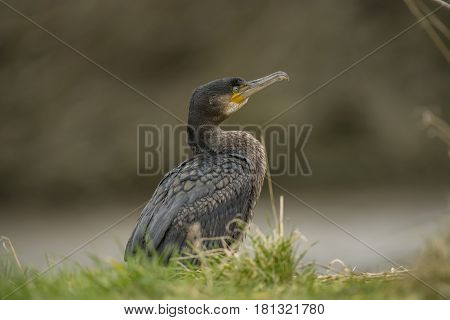 Cormorant Sitting At The Side Of A Pond