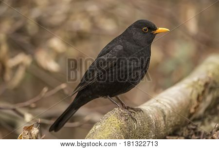 Blackbird Perched On A Branch, Close Up