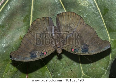 Redspot Duke Butterfly Perched On A Leaf Close Up