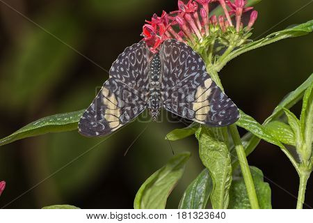 Red Cracker Butterfly Perched On A Flower
