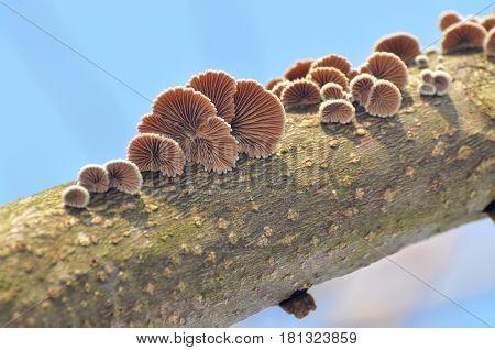 Shizophyllum commune, healing mushroom, Small mushroom growing on sick tree