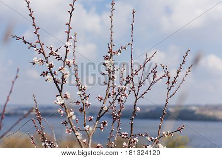 Branch of a flowering apricot. Spring time. Apricot tree flower seasonal floral nature background. River rocky shore in the background