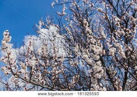 Branch of a flowering apricot. Spring time. Apricot trees branches covered of flowers blossoms and buds in the spring sunset light and blue sky.