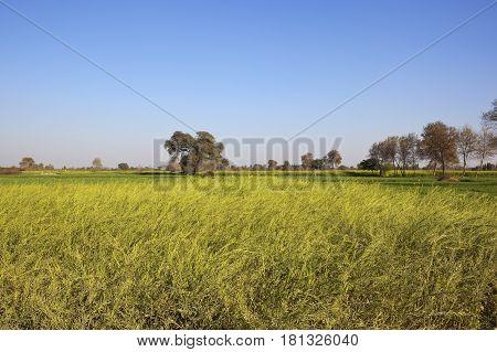 Ripening Mustard Crop In Rajasthan