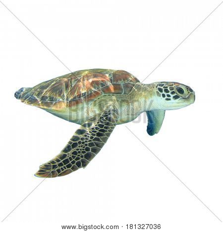 Sea Turtle isolated on white