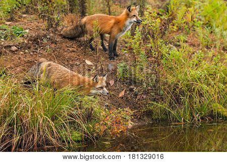 Pair of Fox (Vulpes vulpes) Look Right Over Water - captive animals