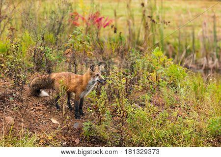 Red Fox (Vulpes vulpes) Gazes Right - captive animal