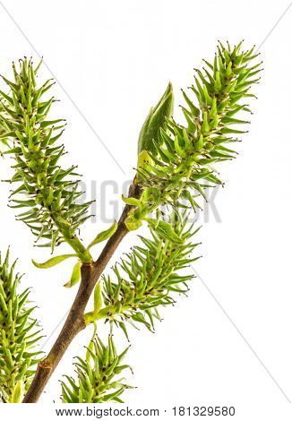 Spring green branch with leaf and flower willow, isolated on white background.
