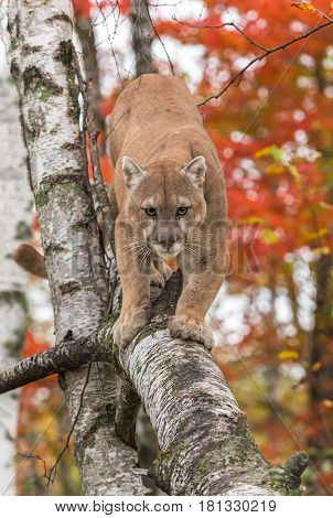 Adult Male Cougar (Puma concolor) Walks Down Birch Branch - captive animal