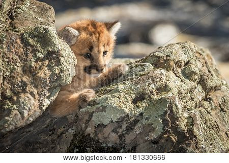 Female Cougar Kitten (Puma concolor) Amongst Rocks - captive animal