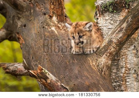 Female Cougar Kitten (Puma concolor) Alone in Tree - captive animal