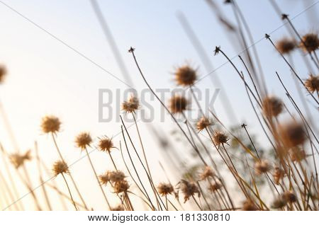 Beautiful sunrise light through thorn or bur flowers and green grass