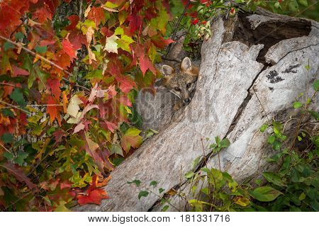 Grey Fox (Urocyon cinereoargenteus) Peers Out of Log - captive animal
