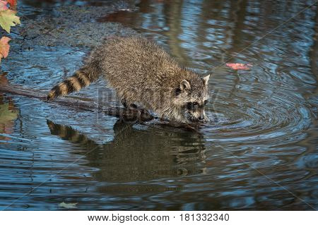 Raccoon (Procyon lotor) Dips Into Pond - captive animal