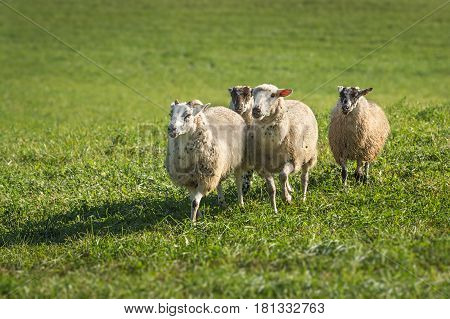 Four Sheep (Ovis aries) Run In - at dog herding trials