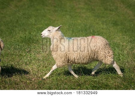 Sheep (Ovis aries) Trots Left - at dog herding trials