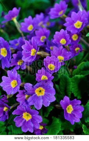 Spring flowers of Primula juliae also known as Julias primrose or purple primrose flowers. Spring flowers background. Closeup of spring flowers in the garden