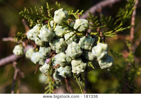 Fruits Of Thuja