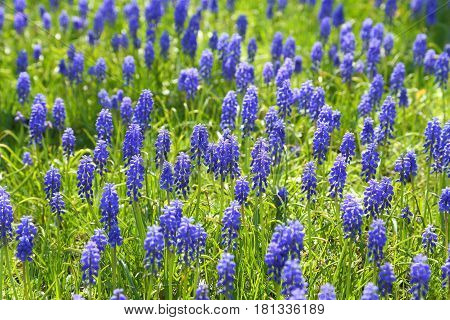 Sapphire grape hyacinths blooming in early spring.