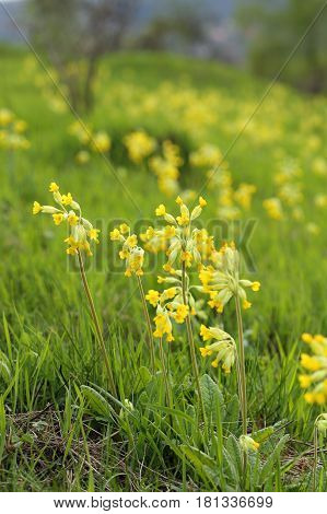 Primula veris (Cowslip) - yellow flowering plant in Poland