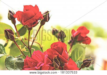Untouched Live And Fresh Roses In Spring Time