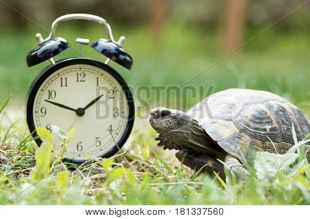 Time Management Concept With Alarm Clock And A Wild Turtle In Spring Time