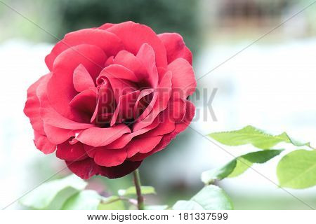 Untouched Live And Fresh Rose In Spring Time