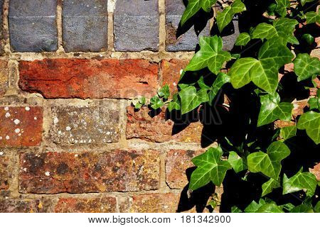 Ivy plant growing vertically up a red brick wall with a black brick row at the top with space for text.