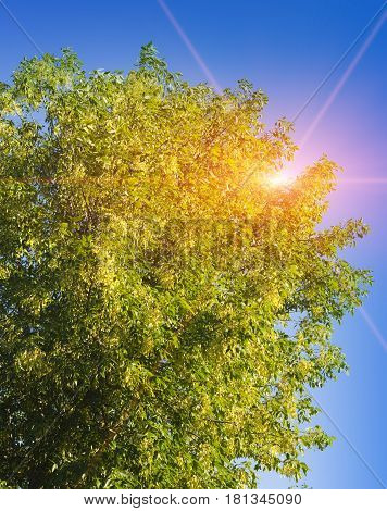 linden tree . Landscape in a sunny day