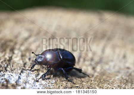 black beetle on a stub. Close up in a sunny day