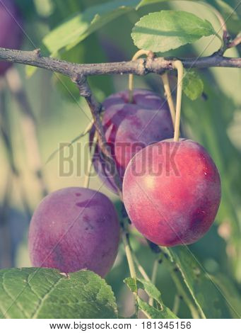 branches of a plum tree with ripe fruits toning