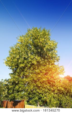 linden tree. Landscape in a sunny day
