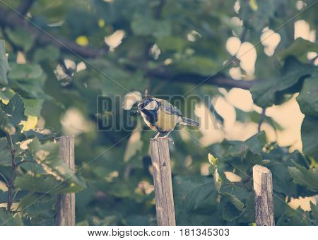 titmouse on a fence toning in a sunny