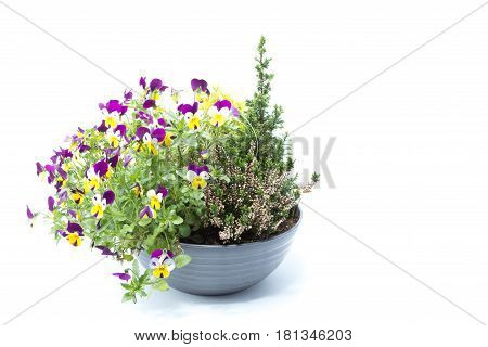 Small Pine Tree With Tricolor Pansy Flower Plant Of Spring Time Isolated In White Background - Viole