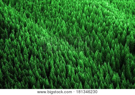 Forest of pine trees in wilderness mountains rugged