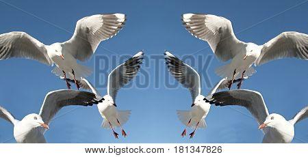 Six seagulls in full flighr overhead in a blue sky.