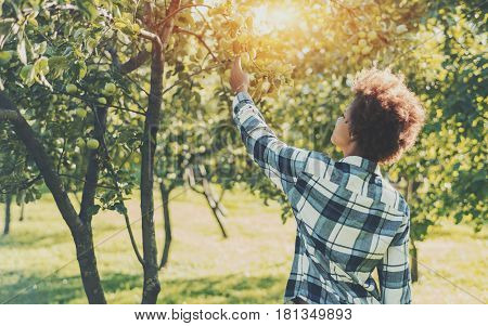 Rear view of young curly mixed girl in plaid shirt trying to pick green apple from branch of apple tree on summer sunny day with copy space for your advertising text message or promotional content