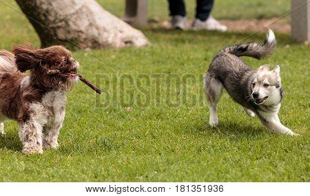 Lhasa Apso And A Siberian Husky Dog Mix Play